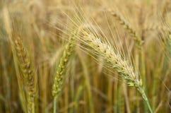 Espiguillas de oro del trigo Foto de archivo libre de regalías