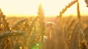 Espiguillas del oro del trigo en el campo durante el primer de la puesta del sol Mueva la cámara desde parte inferior al top metrajes