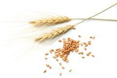 Espiguillas del trigo aisladas en el fondo blanco Visión superior foto de archivo libre de regalías