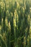 Espiguillas del trigo cereales Paisaje y agricultura Imagenes de archivo