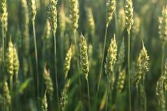 Espiguillas del trigo cereales Paisaje y agricultura Foto de archivo