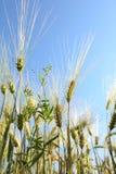 Espiguillas del trigo contra el cielo azul fotos de archivo libres de regalías