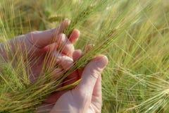 Espiguillas del trigo a disposición, en un campo claro imagenes de archivo