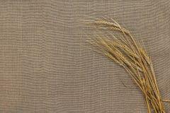 Espiguillas del trigo en el despido Fotografía de archivo libre de regalías