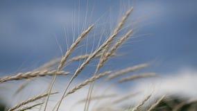 Espiguillas del trigo en el viento en el cielo tempestuoso metrajes