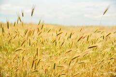 Espiguillas maduras en un campo sin fin en un día soleado Imágenes de archivo libres de regalías