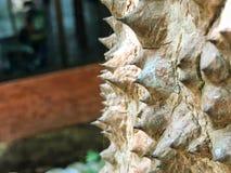 Espina del árbol del algodón de seda o del ceiba del Bombax Foto de archivo