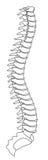 Espina dorsal Foto de archivo