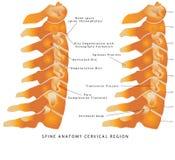 Espina dorsal cervical Imagen de archivo libre de regalías