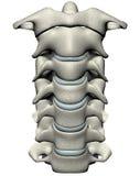 Espina dorsal cervical anterior humana (cuello) Fotos de archivo libres de regalías