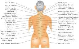 Espina dorsal - correlación del órgano Imágenes de archivo libres de regalías