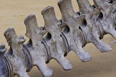 Espina dorsal de la ballena Imagenes de archivo