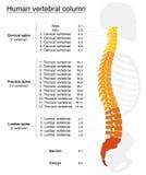 Espina dorsal de los nombres de columna vertebral Fotos de archivo
