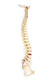 Espina dorsal humana Fotografía de archivo libre de regalías