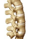 Espina dorsal humana Foto de archivo libre de regalías