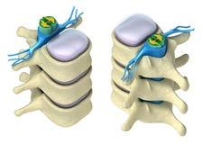 Espina dorsal humana en detalles Imagen de archivo libre de regalías