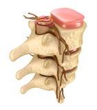Espina dorsal humana en detalles Fotografía de archivo libre de regalías