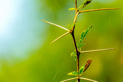 Espina muy aguda y larga en una planta fina ste del nilotica de Vachellia Fotos de archivo libres de regalías