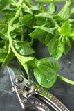 Espinaca de Ceilán fresca de la cosecha fotos de archivo libres de regalías