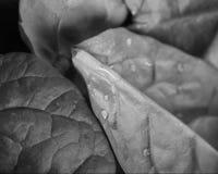 Espinaca del bebé fotografía de archivo libre de regalías