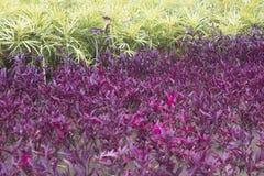 Espinaca roja Imagen de archivo