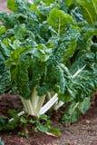 Espinaca - Silverbeet en el jardín vegetal Fotografía de archivo libre de regalías