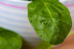 Espinafre fresco em uma bacia Imagem de Stock