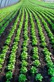 Espinafres orgânicos novos em uma estufa Foto de Stock