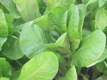 Espinafres orgânicos que crescem em minha estufa Imagens de Stock