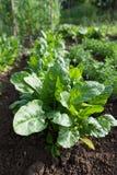 Espinafres saudáveis verdes frescos que crescem no jardim cultivado foto de stock royalty free