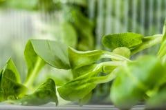 Espinafres verdes suculentos em um recipiente transparente Fundo borrado imagem de stock royalty free