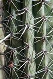 Espinas 3 del cactus Fotografía de archivo libre de regalías