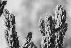 Espinas dorsales de la planta del cactus Imagenes de archivo