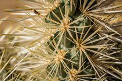 Espinas dorsales de un cactus - 2 imagen de archivo