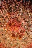 Espinas dorsales del cactus de barril Fotografía de archivo libre de regalías