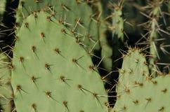Espinas dorsales del cactus del higo chumbo imagen de archivo