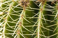 Espinas dorsales en el cactus, Imagenes de archivo