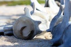 Espinha da baleia fotos de stock royalty free