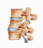Espinha - Hyperlordosis lombar ilustração stock