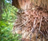 Espinhas afiadas da palma do pêssego Imagem de Stock