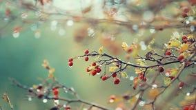 Espinho com a baga vermelha no ramo, gotas da água de chuva do outono, brisa clara video estoque