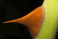 Espinho de uma rosa tomada perto acima imagem de stock