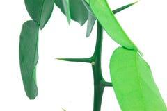 Espinho fresco da bergamota Fotografia de Stock
