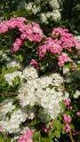 Espinho inglês cor-de-rosa e branco da região central Imagem de Stock