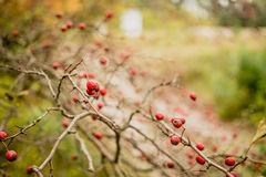 Espinho no jardim do outono fotos de stock royalty free