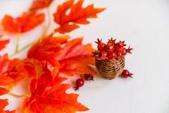 Espinho no vaso e no conceito vermelho da queda das folhas de bordo Fotos de Stock
