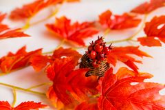 Espinho no vaso e no conceito vermelho da queda das folhas de bordo Imagem de Stock Royalty Free