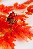 Espinho no vaso e no conceito vermelho da queda das folhas de bordo Foto de Stock Royalty Free