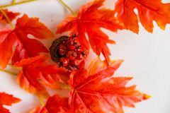 Espinho no vaso e no conceito vermelho da queda das folhas de bordo Imagem de Stock