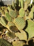 Espinhos agradáveis e amarelos do cacto Fotos de Stock